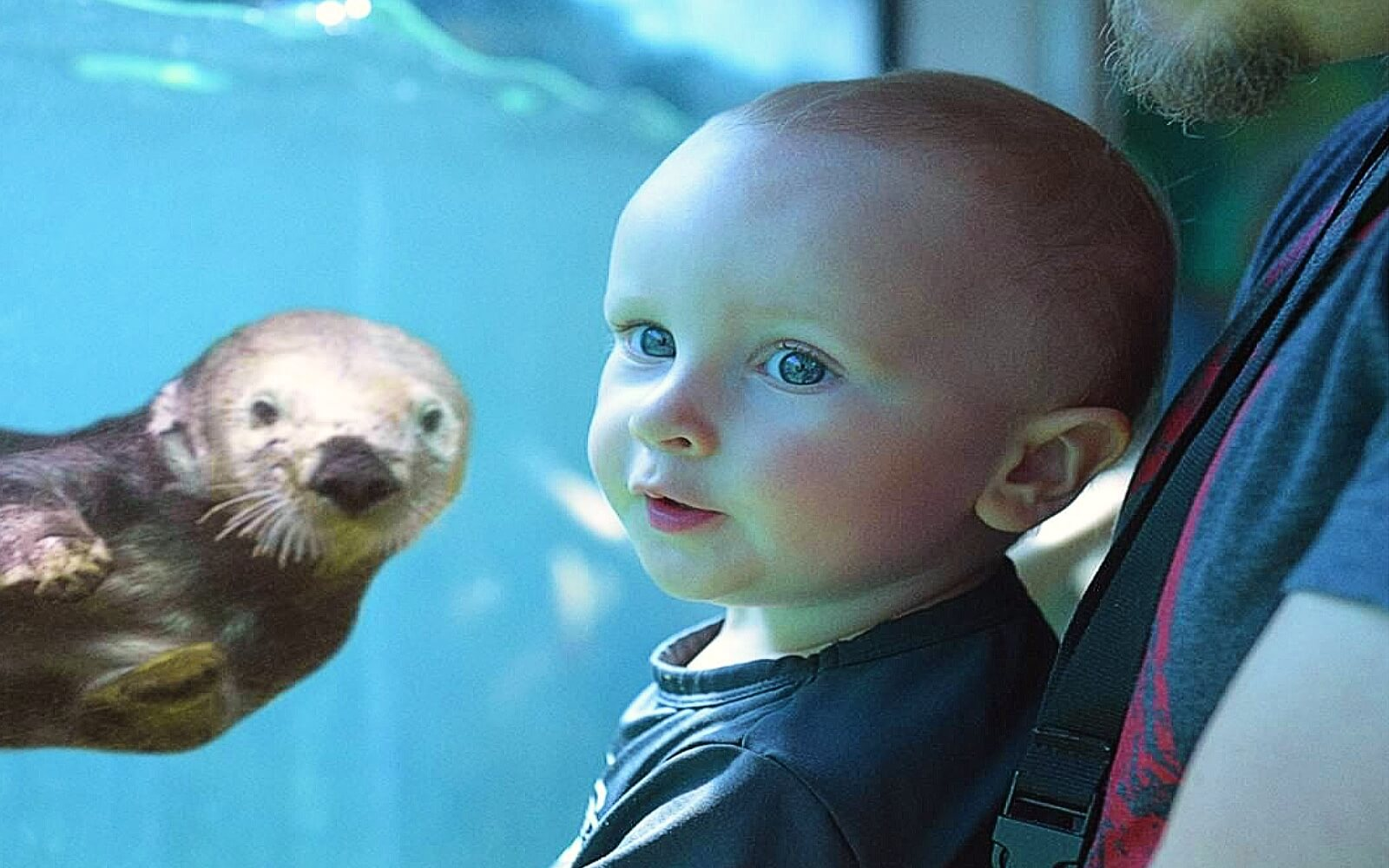 a child observes a Sea Otter