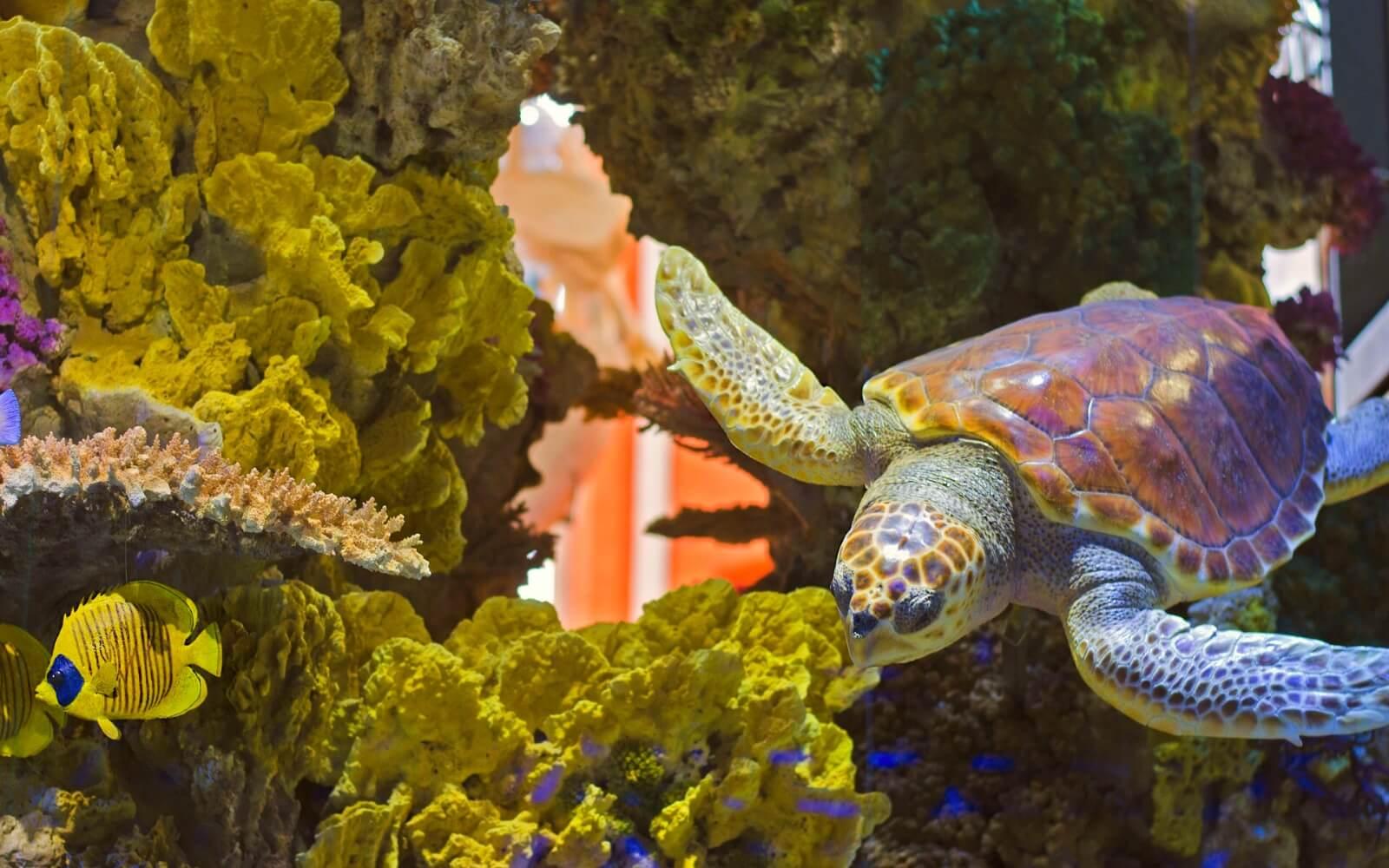 A Green Sea Turtle swims in an Aquarium