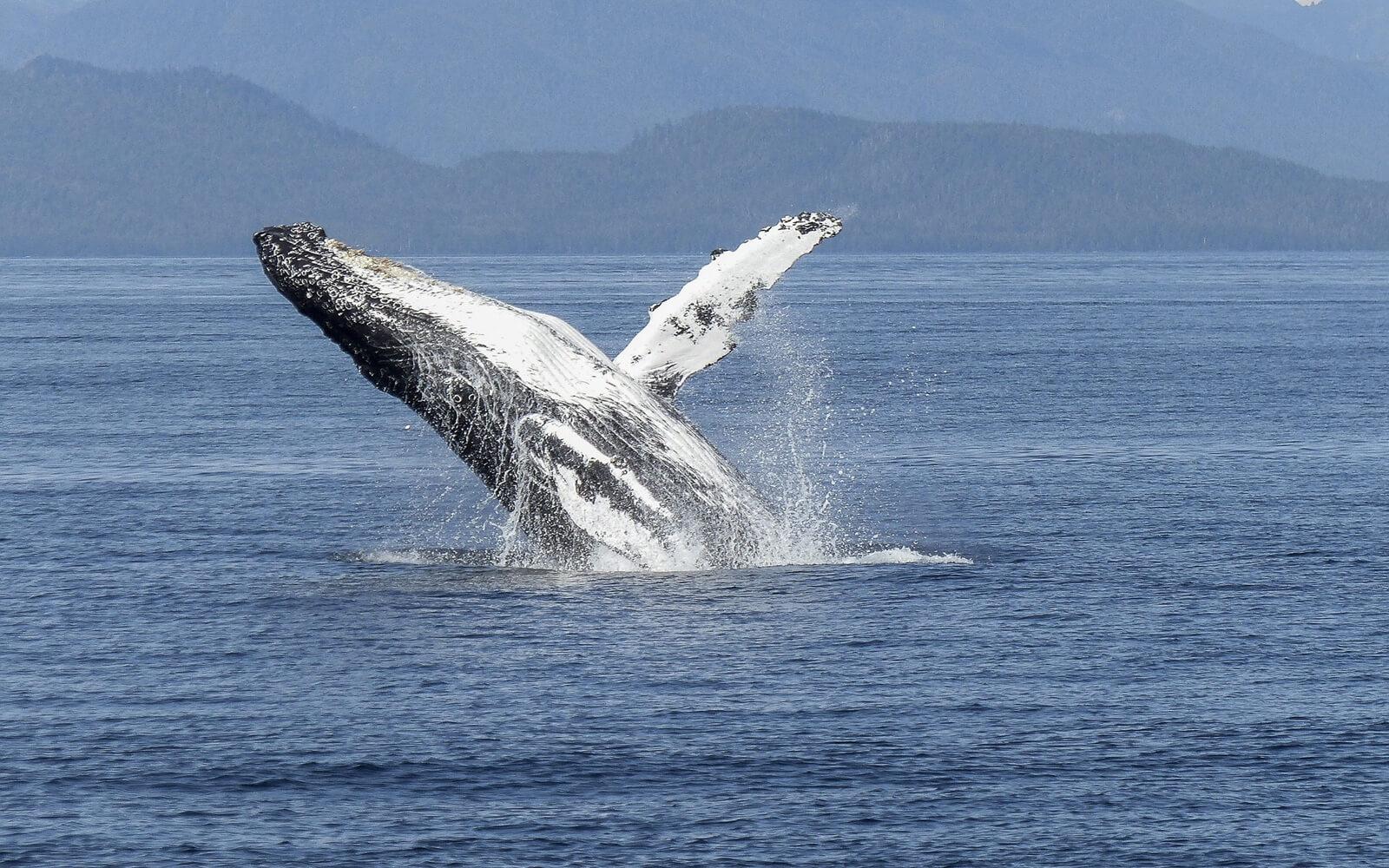 A Humpback Whale breaches