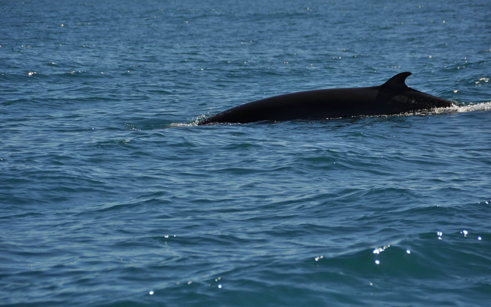 A minke whale comes up for air