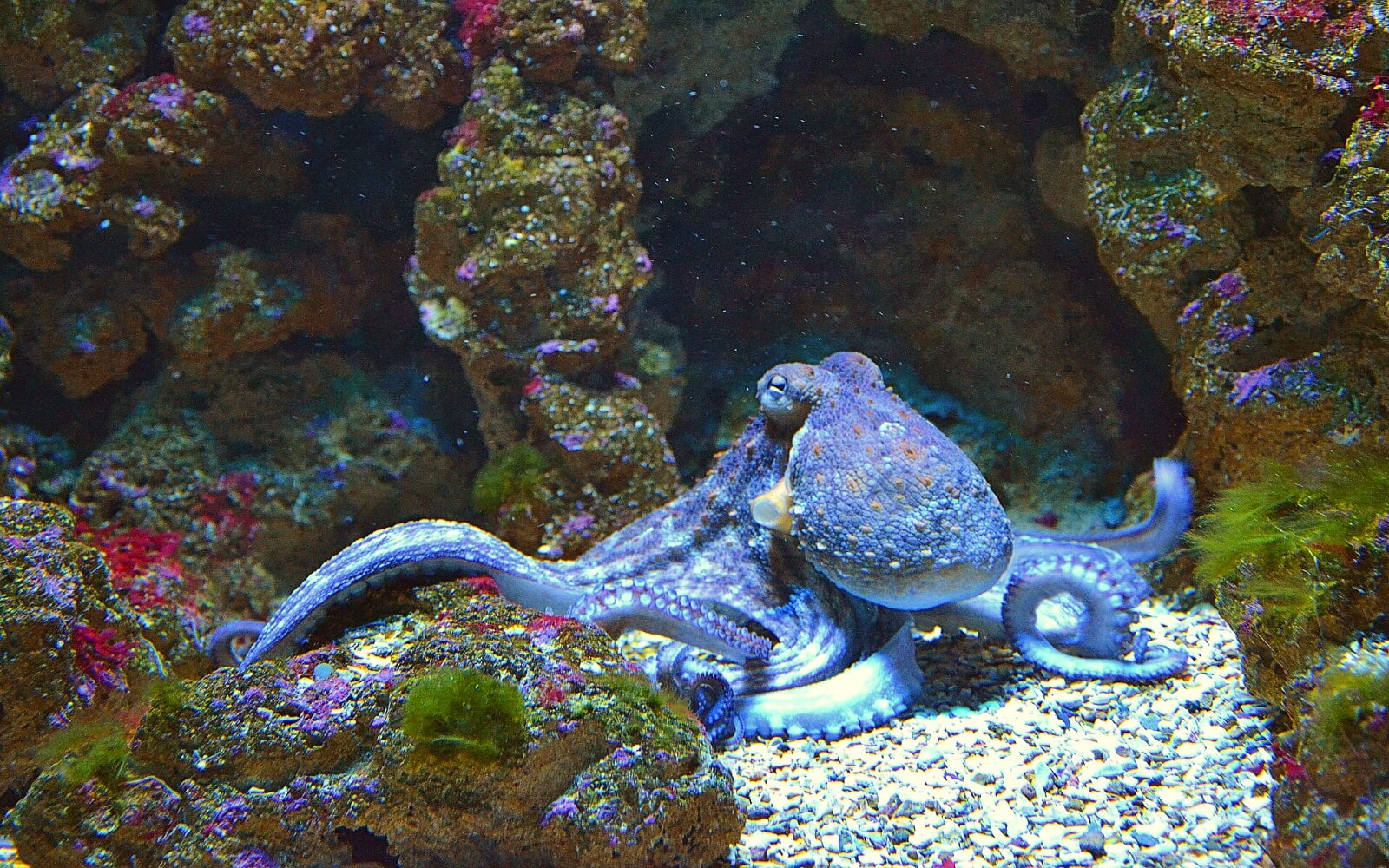 An Octopus in an Aquarium