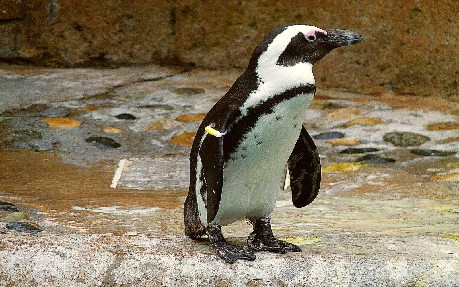A Penguin at Penguin point, Vancouver Aquarium