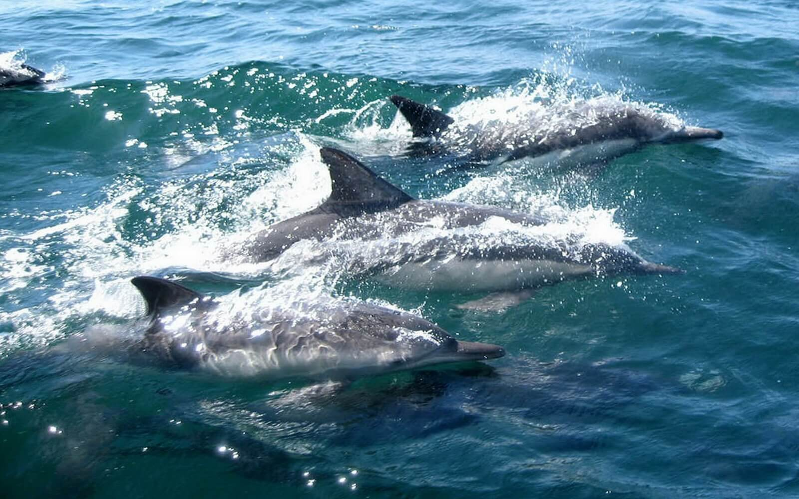 Dolphins play in a boats wake