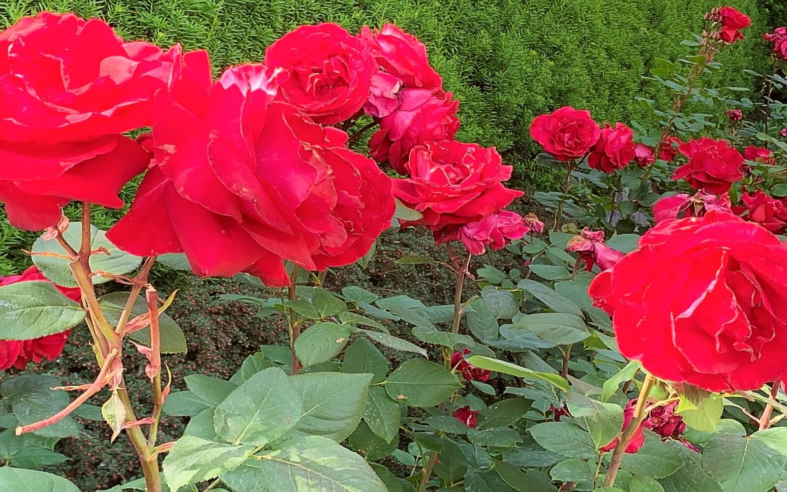 Large red roses at Van Dusen Garden