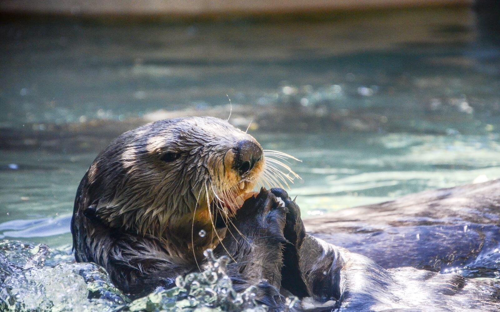 A Sea Otter at the Vancouver Aquarium