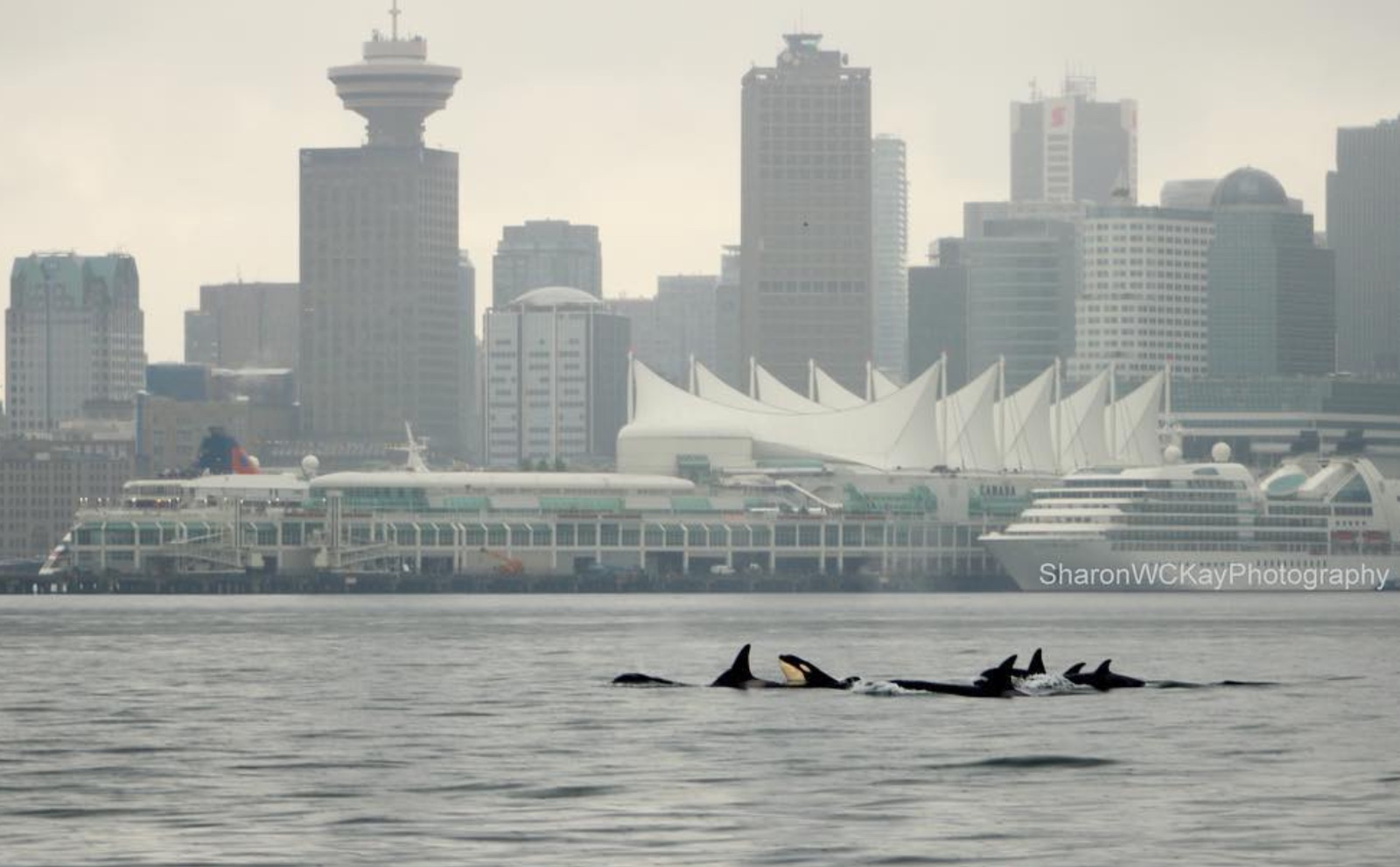 A pod of Orcas swim in front of the Vancouver skyline