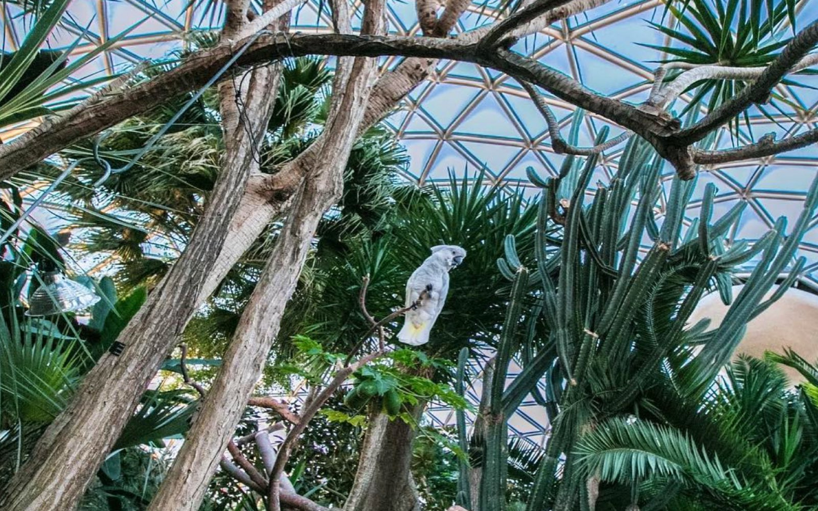 A giant dragon tree, Bloedel Conservatory